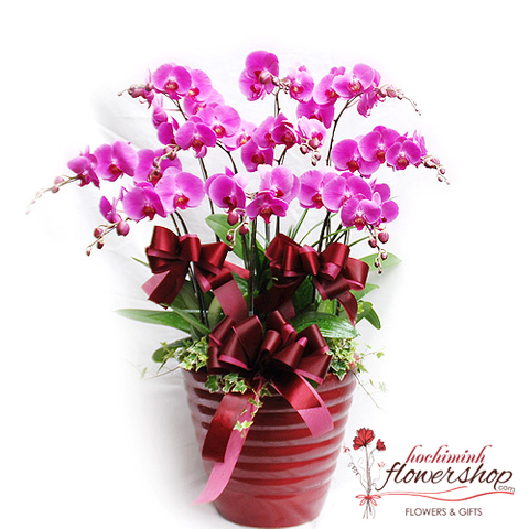 Violet phalaenopsis orchid plant delivery same day