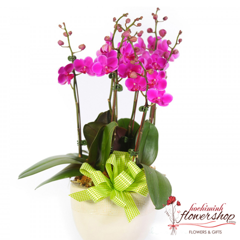Purple moth orchid plants delivered Hochiminh