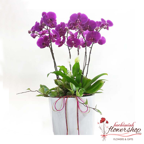 Send phalaenopsis orchid to Hochiminh VN
