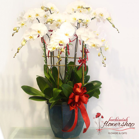 Phalaenopsis orchid delivery in Hochiminh Vietnam