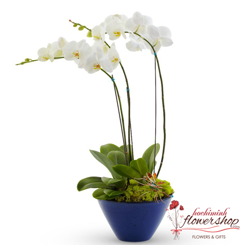 Phalaenopsis White Orchid beautiful